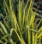 yucca (288x300)