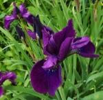 irissibiricajamaicanvelvet (300x295)
