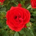 rosacarrottop (300x297)