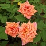 rosalynnanne (298x300)