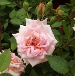 rosaminniepearl (295x300)
