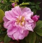 rosatheresebugnet (297x300)