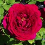 rosaheathcliff (298x300)