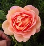 rosaladyofshalot (285x300)