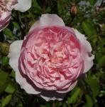 rosawisley (296x300)