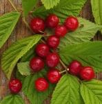 cherrynanking (295x300)