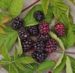 loganberry (300x295)