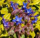 Boragoofficinalis (3)