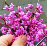 Cerciscanadensisblooms (2)