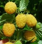 Rubus'AutumnGold'3 (2)