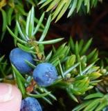 JuniperusCommunisBerries (2)