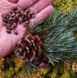 Pinusparvifloranuts (2)