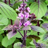Basil'AfricanBlue'blooms (2)