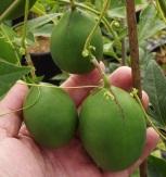Passifloraincarnatafruit (3)