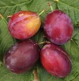 Prunusdomestica'Victoria' (3)