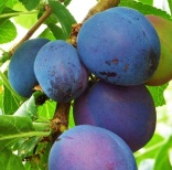 PrunusPlum'Czar'2 (2)