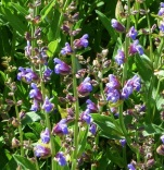 SalviaofficinalisFlowers (2)