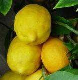 CitrusLemon'Meyer'7