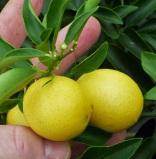 CitrusLimequat