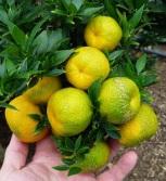 CitrusmyrtifoliaChinotto