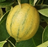 Citrus'VariegatedPinkLemon' (2)