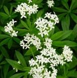 Galiumodoratumflowers