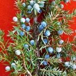 Juniperus communis berries