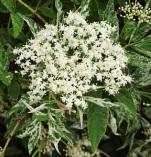 Sambucusnigra'Pulverulenta' (2)