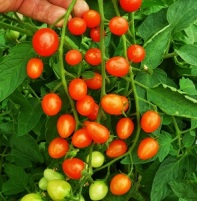 tomatorapunzel (2)