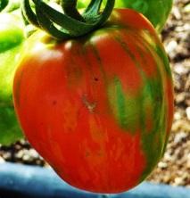 Tomato'StripedStuffer' (2)