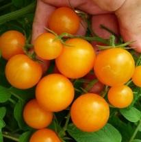 tomatosunsugar (3)