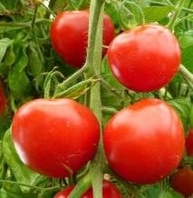tomatotumblingtom (3)