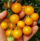 tomatoyellowtumblingtom (2)
